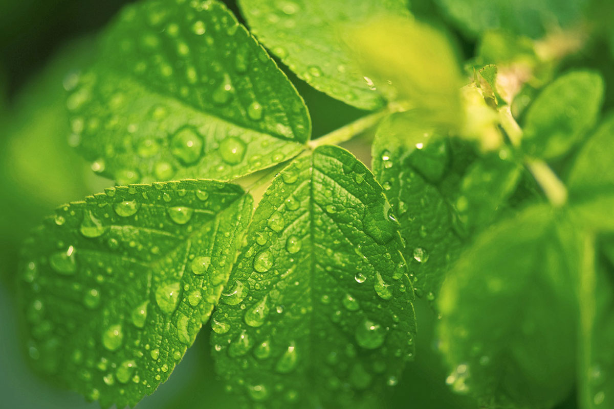 leaves-dewdrops